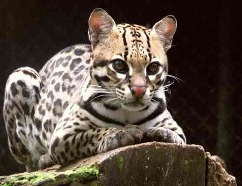 Ocelot_(Leopardus_pardalis)-8